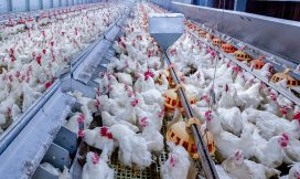 precision feeding, broiler breeder health, feed accuracy, feed monitoring, batch feeding, scheduled feeding, feed conversion, feed conversion ratio, biosecurity, bin scales, bin monitoring system, feed control, precision feeding, sow health, bin scales, remote bin monitoring, cloud feed bin, bin weighing, lactation bin, bintrac, herdstar, precision farming